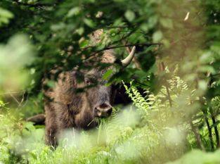 Wilde Wisente im Wald